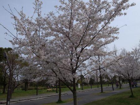 舎人公園のレーガン桜