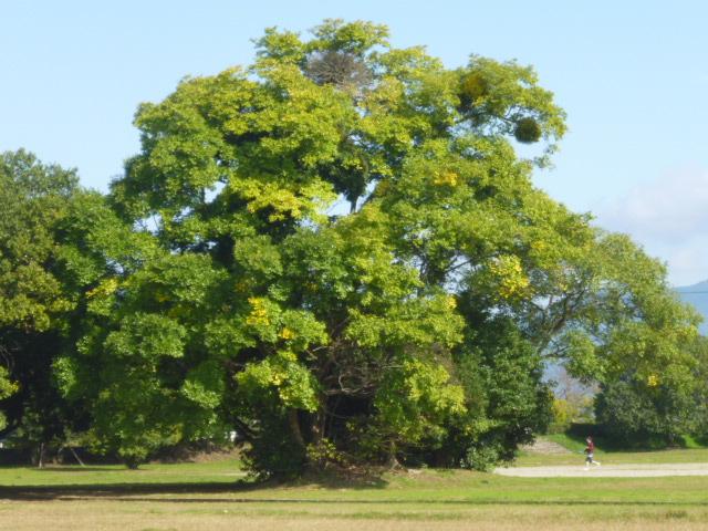 かしわらの木