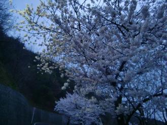 4月11日夕方桜
