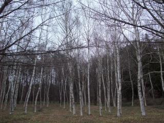 12-12白樺