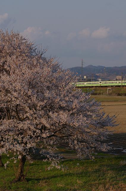 桜と115系