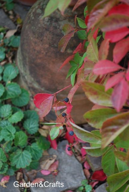 ヘンリーヅタ紅葉