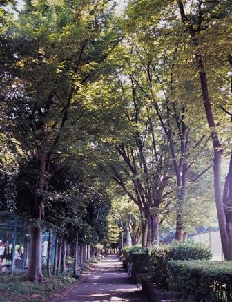 中央公園並木