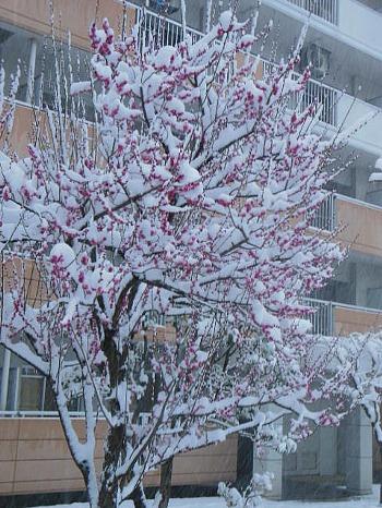梅の枝に無常の雪