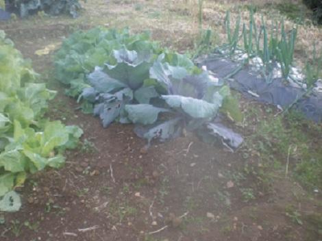 111216 畑 キャベツ 白菜
