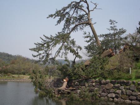 鹿野城跡公園の松