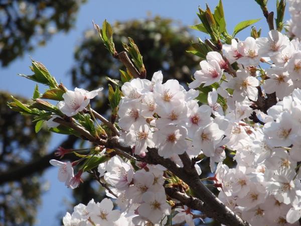 桜と青と緑