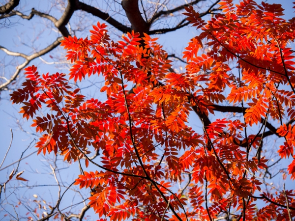 六義園の紅葉 J