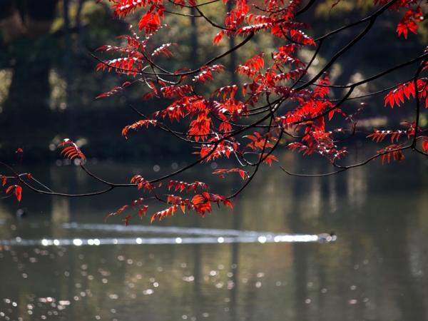 六義園の紅葉 A