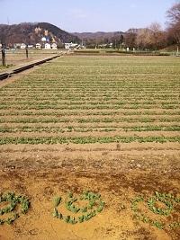 チューリップ畑2