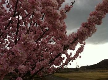足柄桜 2
