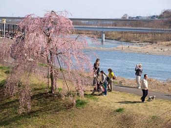 美晴の滝桜の子苗