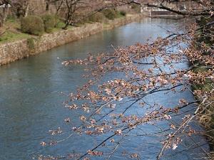 羽村の堰の桜1