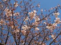 羽村ぜきの桜