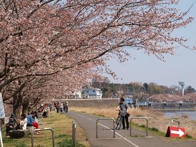 桜堤は5~6分咲き