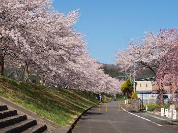 満開の桜堤 1