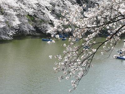 千鳥が淵の桜 1