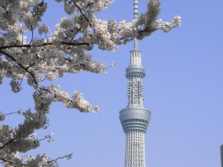 墨田公園の桜とスカイツリー