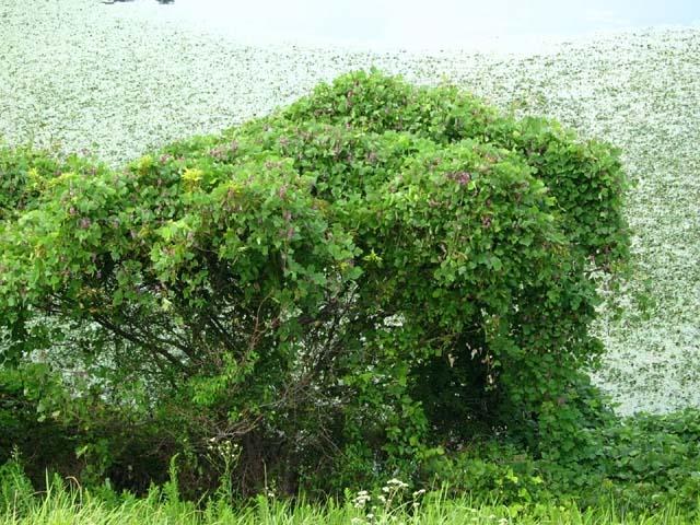 公園池周辺の木々に覆い被さっている葛(96139 byte)