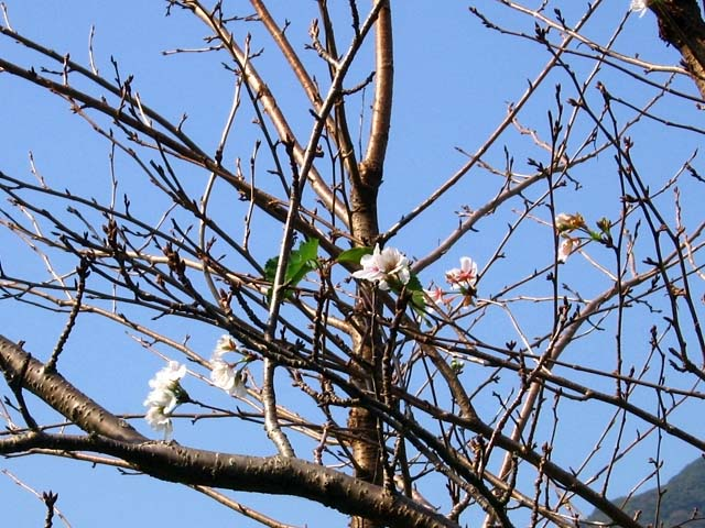 桜(狂い咲き)(92514 byte)