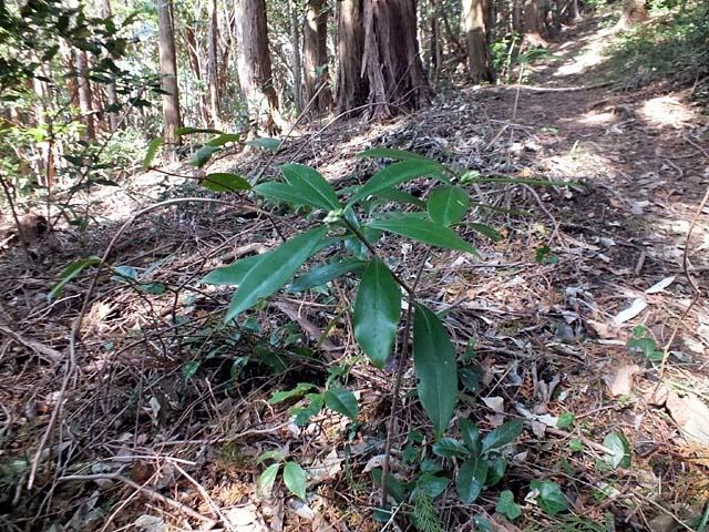 胡椒の木のツボミ(114990 byte)
