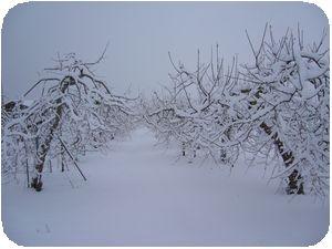 冬のリンゴ園1