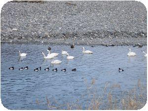 犀川の白鳥1