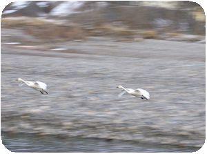 犀川の白鳥2