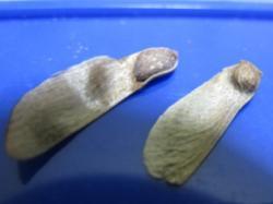 クロマツ・イロハモミジの実
