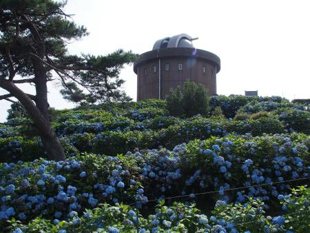 大野山紫陽花