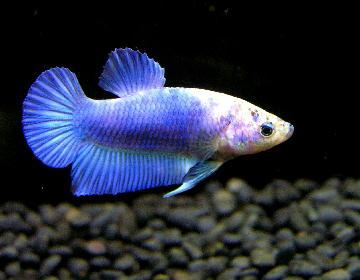 PL ブルー&ホワイト マーブル007