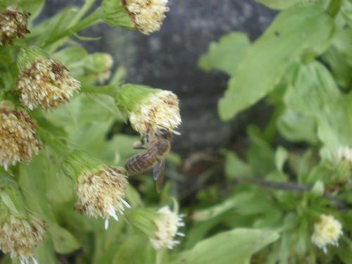 フキノトウに訪花