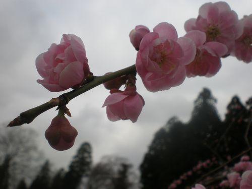 八重咲桃色