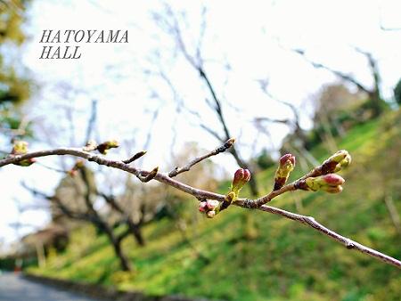 【桜の開花状況】 まだ固い蕾です。