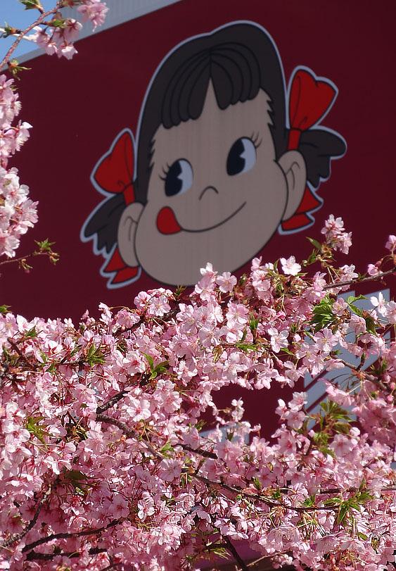 130309河津桜4