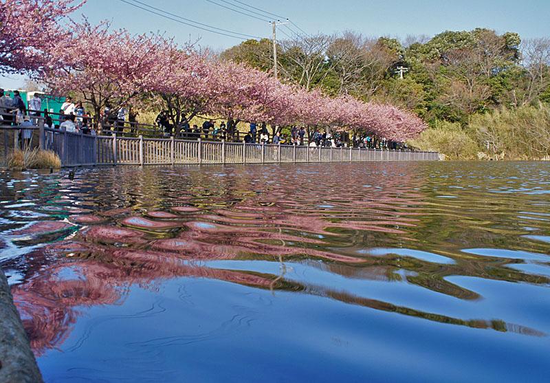 130309河津桜3