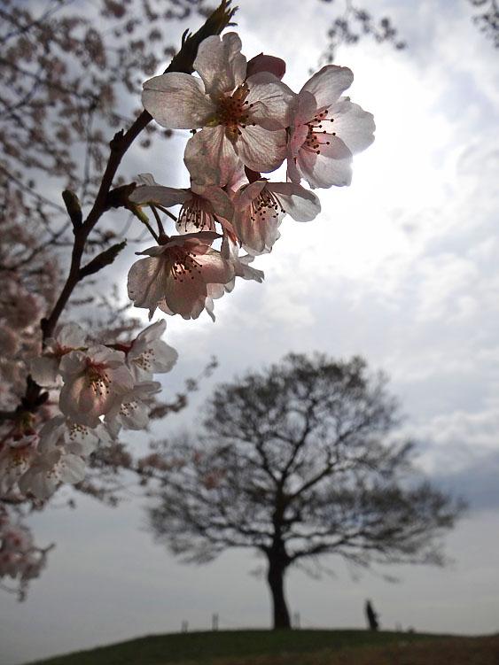 130326榎の丘と桜5