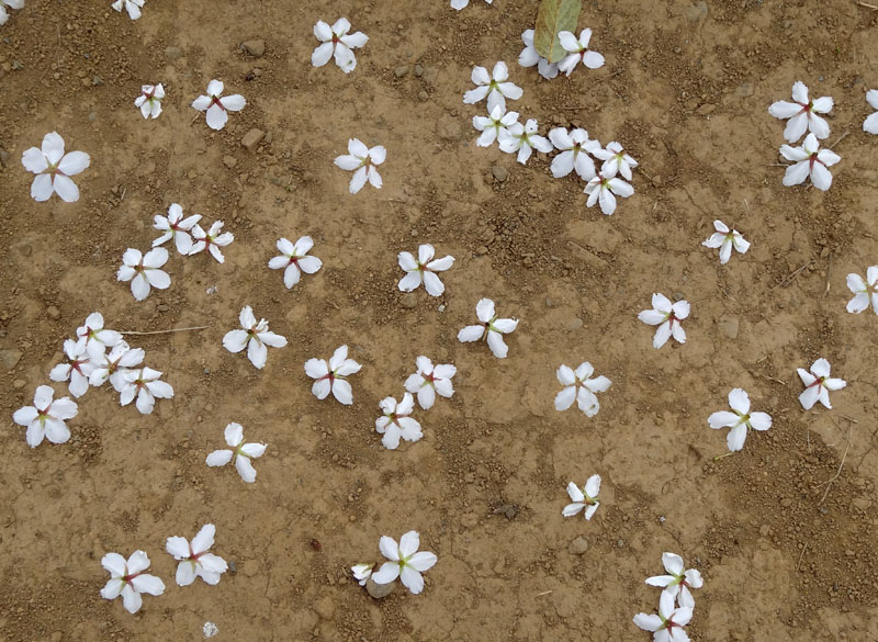 130326榎の丘と桜4