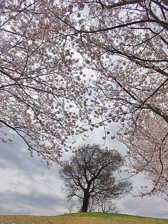 130326榎の丘と桜1