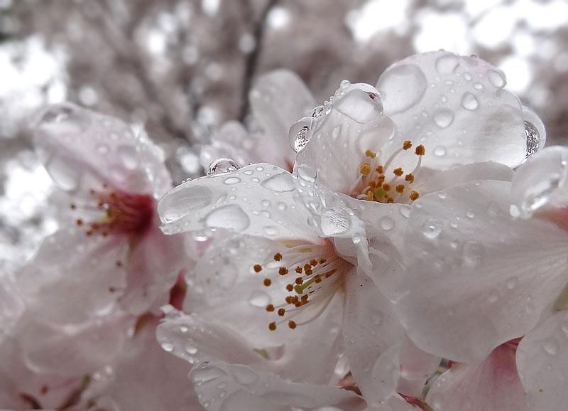 130327雨と桜