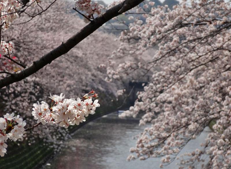 130328大岡川桜満開3