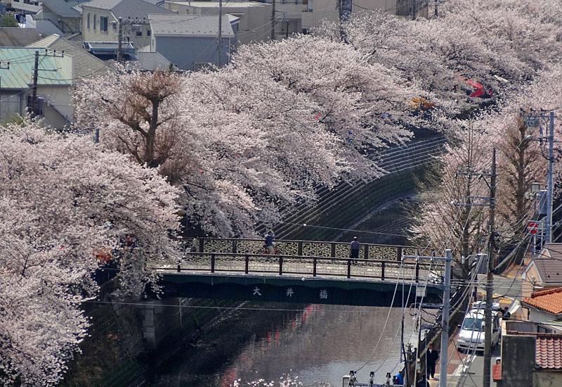 130328大岡川桜満開2