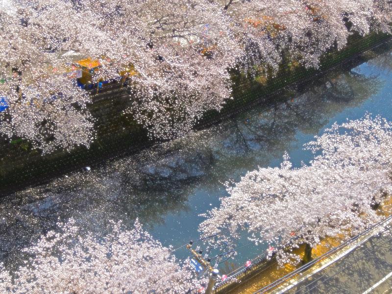 130328大岡川桜満開1