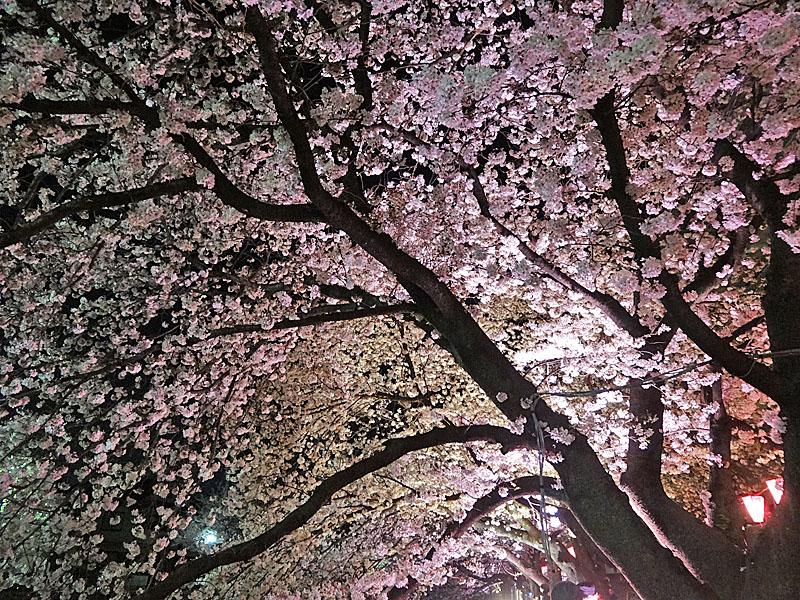130328大岡川夜桜4