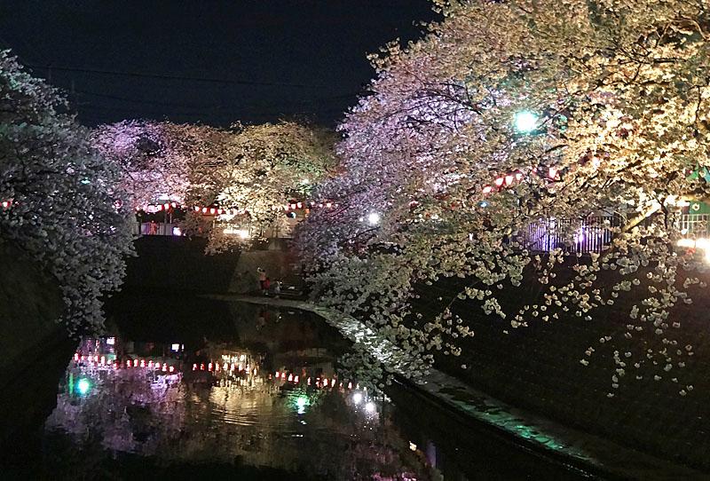 130328大岡川夜桜5