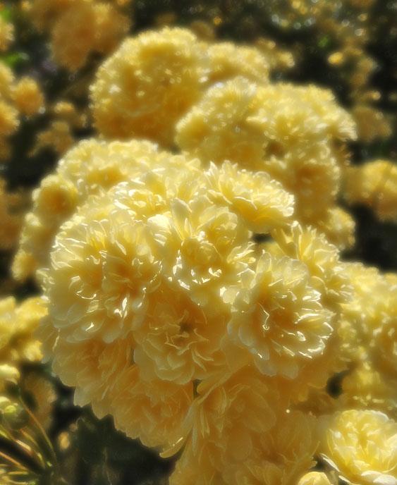 130416木香薔薇2