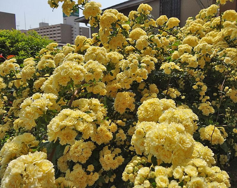 130416木香薔薇1