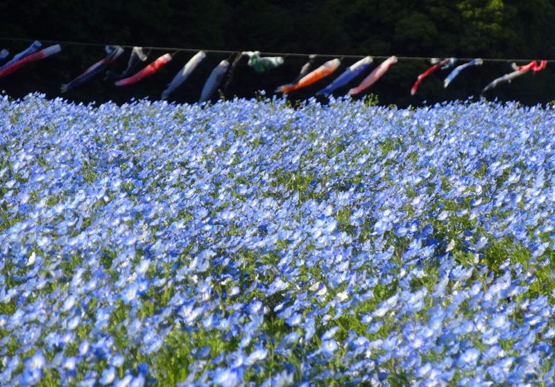 130428花の国ネモフィラ2
