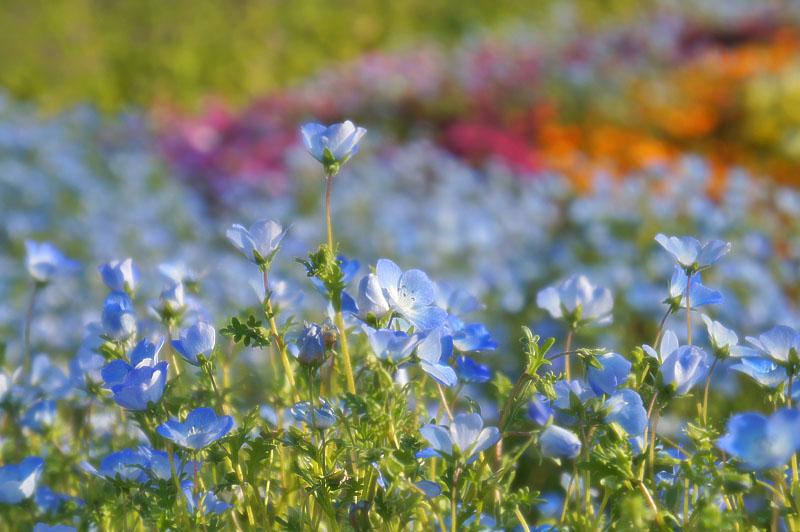130428花の国ネモフィラ6