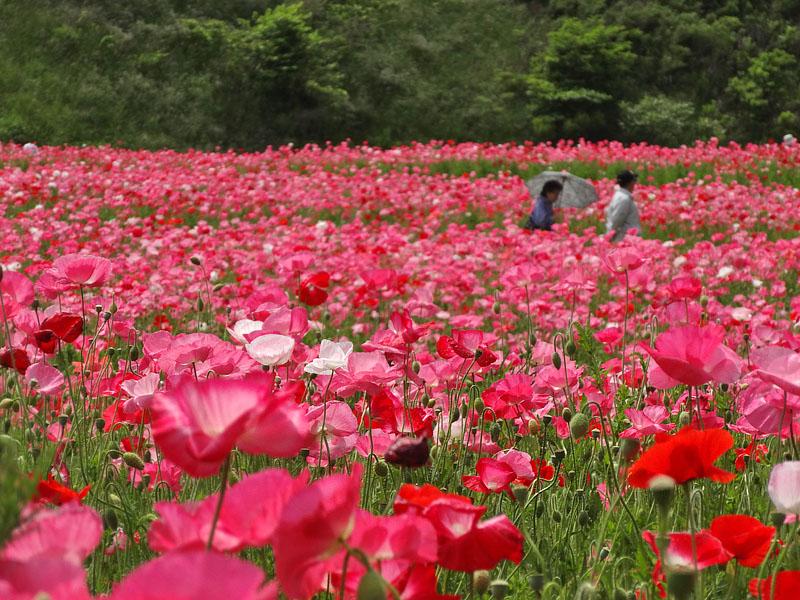 130519花の国5